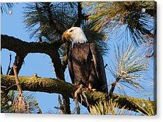 Bald Eagle Perch Acrylic Print