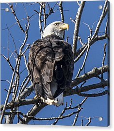 Bald Eagle Perched Acrylic Print
