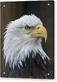 Acrylic Print featuring the photograph Bald Eagle Portrait by Gary Lengyel