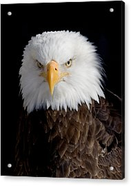 Bald Eagle Portrait Acrylic Print by Laurie With
