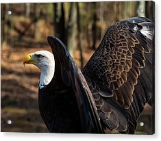 Bald Eagle Preparing For Flight Acrylic Print