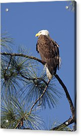 Acrylic Print featuring the photograph Bald Eagle by Sally Weigand