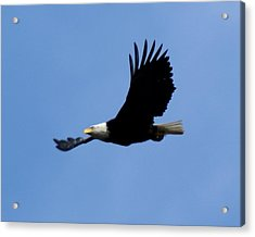 Bald Eagle Soaring High Acrylic Print
