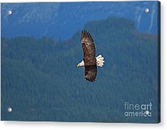 Acrylic Print featuring the photograph Bald Eagle Soaring  by Sharon Talson