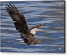 Bald Eagle Strike Acrylic Print