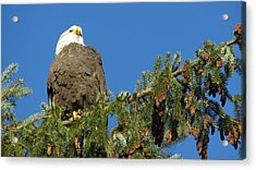 Bald Eagle Sunbathing Acrylic Print