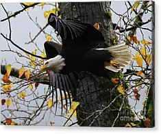 Bald Eagle Takes Flight Acrylic Print
