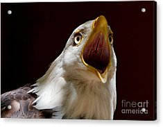Bald Eagle - The Great Call Acrylic Print