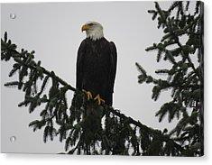 Bald Eagle Watching Acrylic Print