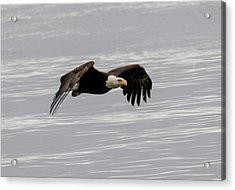 Bald Eagle Wing Tips Down Acrylic Print