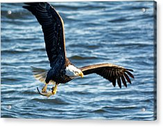 Bald Eagle With Fish Acrylic Print