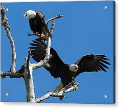 Bald Eagles Acrylic Print