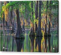 Baldcypress Trees, Louisiana Acrylic Print