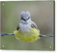 Ball Of Fluff Acrylic Print by CR  Courson