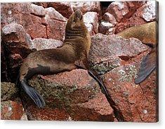 Acrylic Print featuring the photograph Ballestas Island Fur Seals by Aidan Moran