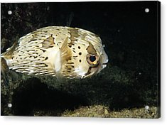 Balloonfish Profile Puffer Fish, Diodon Acrylic Print by James Forte