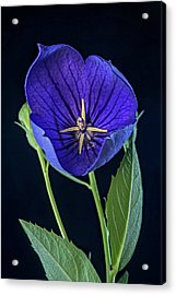 Baloon Flower In Early Morning Acrylic Print by Douglas Barnett