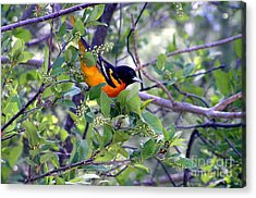 Baltimore Northern Oriole Acrylic Print