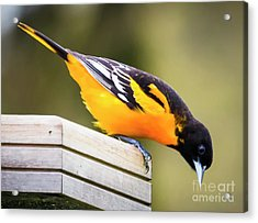 Acrylic Print featuring the photograph Baltimore Oriole About To Jump by Ricky L Jones