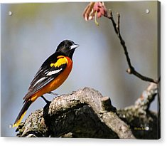 Baltimore Oriole Acrylic Print by Christina Rollo