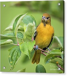 Baltimore Oriole Closeup Acrylic Print by Ricky L Jones