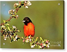 Baltimore Oriole Acrylic Print by James F Towne
