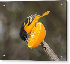 Baltimore Oriole On Orange Acrylic Print