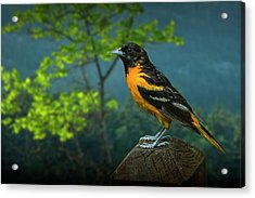 Baltimore Oriole Perched On A Fence Post Acrylic Print