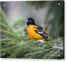 Baltimore Oriole Acrylic Print by Ricky L Jones