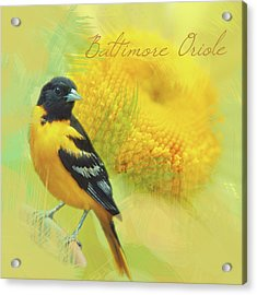 Acrylic Print featuring the photograph Baltimore Oriole Watercolor Photo by Heidi Hermes