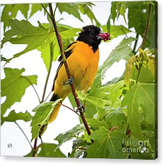 Acrylic Print featuring the photograph Baltimore Oriole With Raspberry  by Ricky L Jones