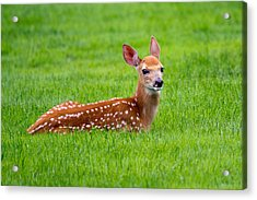 Acrylic Print featuring the photograph Bambi At Rest by Timothy McIntyre