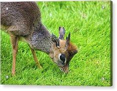 Bambi Eyes Acrylic Print