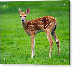 Acrylic Print featuring the photograph Bambi by Timothy McIntyre
