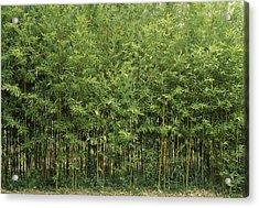 Bamboo Trees In A Forest, Fukuoka Acrylic Print