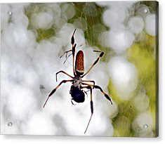 Banana Spider Lunch Time 2 Acrylic Print