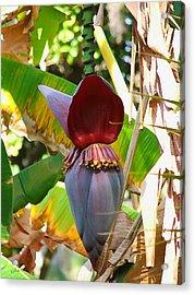 Banana Tree Acrylic Print by Judy  Waller