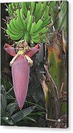 Banana Tree Pod Acrylic Print by Candace Shockley