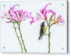 Bananaquit Floral Acrylic Print by Cheryl Baxter