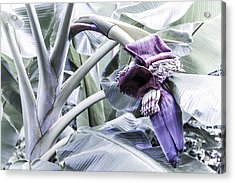 Acrylic Print featuring the photograph Banana Beginnings In Cool Shades by Kerri Ligatich