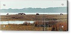 Band Of Wild Horses Along Sinepuxent Bay Acrylic Print
