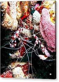 Banded Coral Shrimp - Caught In The Act Acrylic Print