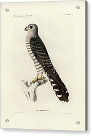 Acrylic Print featuring the drawing Banded Kestrel by J D L Franz Wagner
