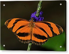 Banded Orange Butterfly Acrylic Print