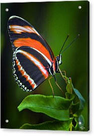 Banded Orange Longwing Butterfly Acrylic Print