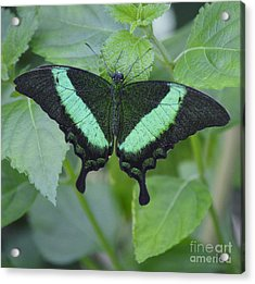 Banded Peacock Butterfly II Acrylic Print by Marilyn Smith