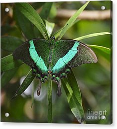 Banded Peacock Butterfly Acrylic Print by Marilyn Smith