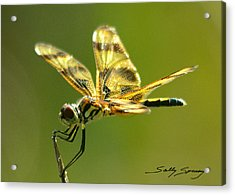 Banded Pennant, Female Acrylic Print