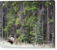 Banff Canada Elk Woodland Landscape Acrylic Print by Andrea Hazel Ihlefeld