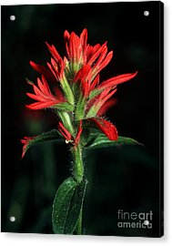 Banff - Indian Paintbrush 4 Acrylic Print